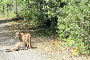 A mountain lion with a freshly killed deer was spotted on the Sawyer Camp Trail in San Mateo County on June 16, 2021.