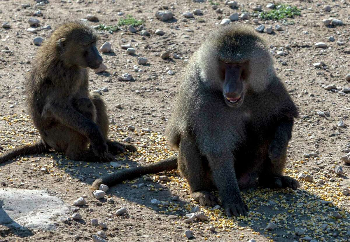 Two baboons are seen this summer at the Southwest National Primate Research Center at the Texas Biomedical Research Institute. A reader says its past time to stop using primates for research, following news of amputations from this winter's freeze.