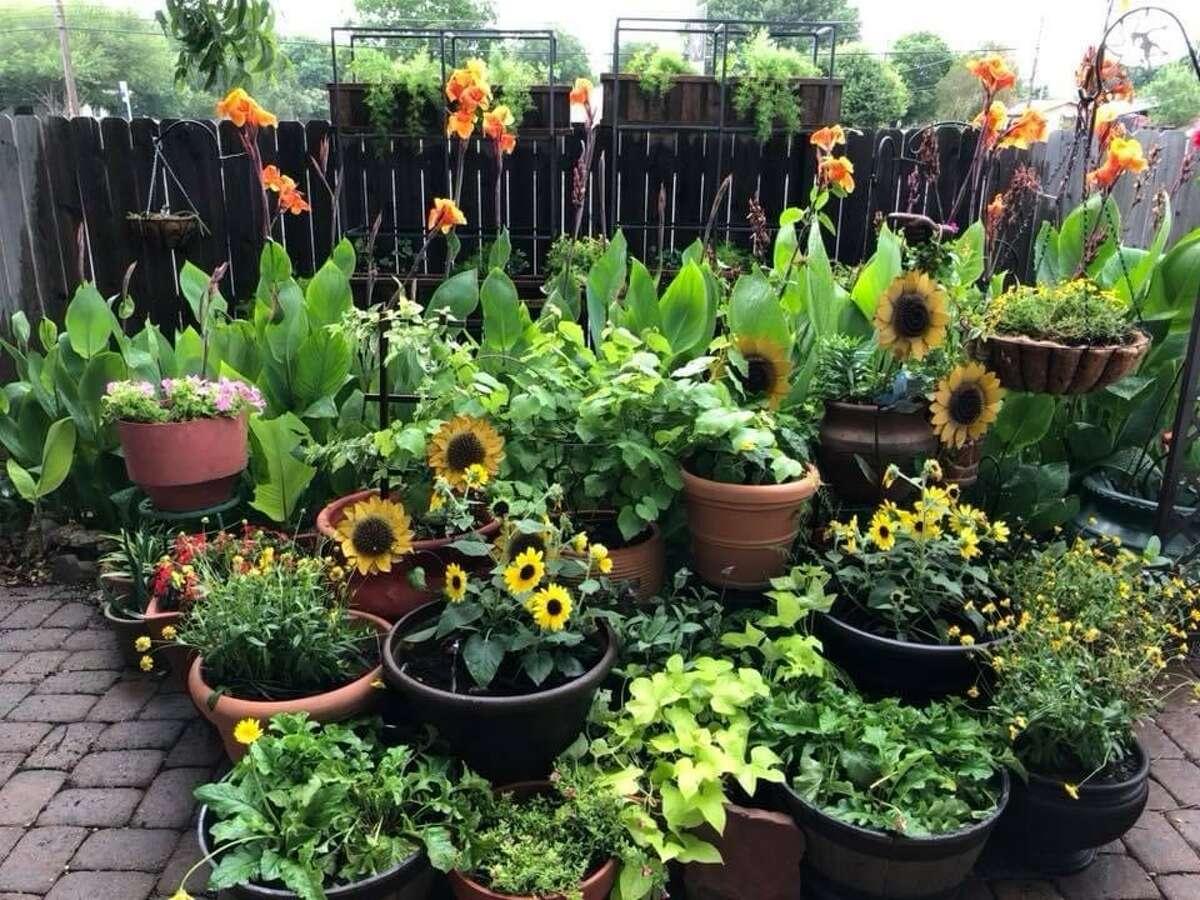 Michael Quintanilla's backyard container garden prior to the car crash on June 16.