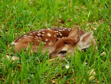 Late spring and early summer are when most fawns are born in Texas. Anyone who comes a fawn that is showing no apparent signs of distress should leave the animal alone and not disturb it. It's likely the fawn's mother isn't very far away.