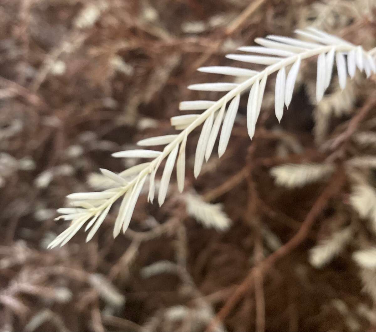 A needle on the Christmas Tree, an albino redwood in Humboldt Redwoods State Park.