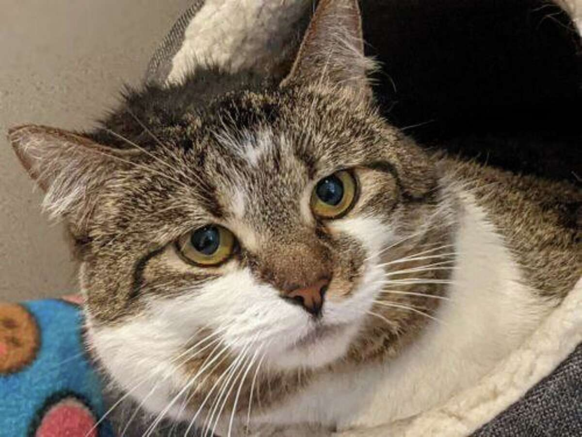 Mandy, a 5-year-old brown tabby, came to Cat Tales because her owner passed away. She is very confused as to why she is in a shelter and not in her home. Due to losing her owner and being a shelter she is very shy. However, she would love nothing more than to be in a quiet home with you where she can be petted and get affection. When you reach in her cage to pet her she starts drooling and melts into your hand. She is so happy to receive love. Mandy has patellar lunation. Her knees can sometimes come out of joint and can be painful. She will start taking Gabapentin soon for the pain and should continue this treatment. Mandy needs a quiet home with someone who will give her time to adjust. She has been through a lot. Please adopt her. To learn more, visit www.CatTalesCT.org/cats/Mandy, call 860-344-9043 or email info@CatTalesCT.org. Watch our TV commercial: https://youtu.be/Y1MECIS4mIc