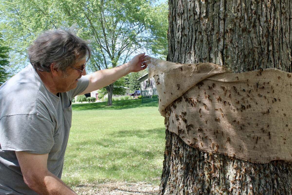 Colfax Township resident Ronald Kaledas lifts up a burlap wrapping around a tree on his property, which, underneath lies dozens of gypsy moths. The burlap is one of many techniques Kaledas has used to battle back against the gypsy moth infestation at his home.