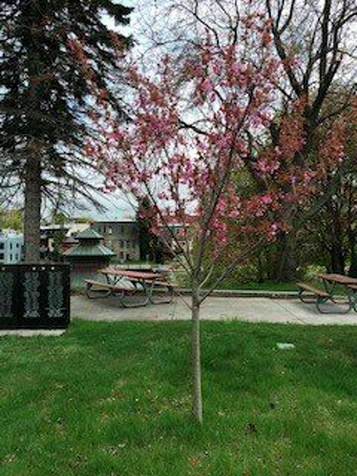 The Manistee Peace Group planted a Kwanzan cherry tree at Veterans Memorial Parkin Manistee in 2017. This year, the group is placing a plaque near the tree during adedication ceremony at 10:30a.m.on June 19 in Veterans Memorial Park. (Courtesy photo)