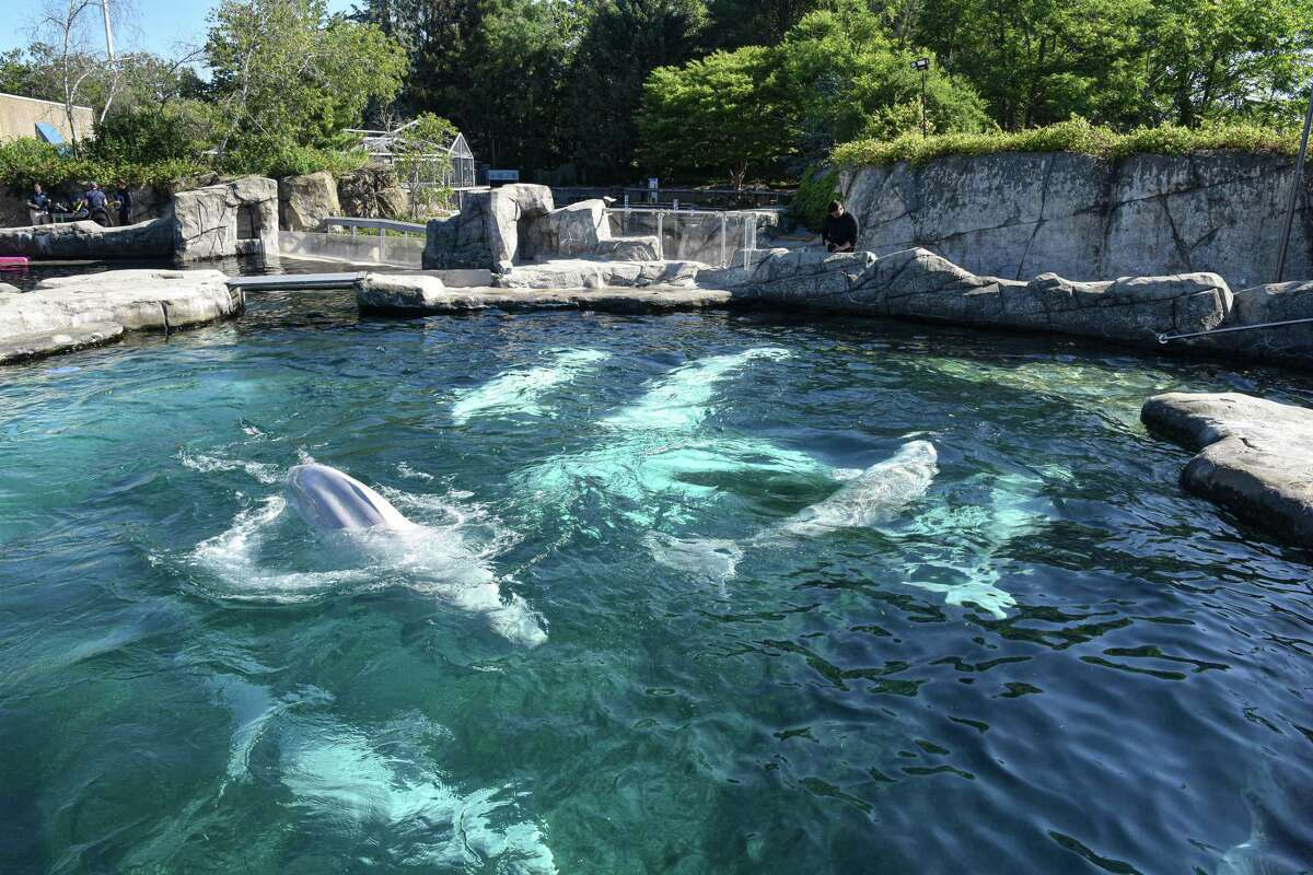 MYSTIC, Conn. - Five new beluga whales are introduced to Mystic Aquarium's three existing Belugas Friday, June 18, 2021. The five whales, imported from Canada, had been isolated from the resident whales for a month after their arrival in order to let the animals acclimatize to one another.