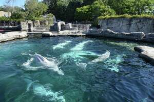 MYSTIC, Conn. — Five new beluga whales are introduced to Mystic Aquarium's three existing Belugas Friday, June 18, 2021. The five whales, imported from Canada, had been isolated from the resident whales for a month after their arrival in order to let the animals acclimatize to one another.