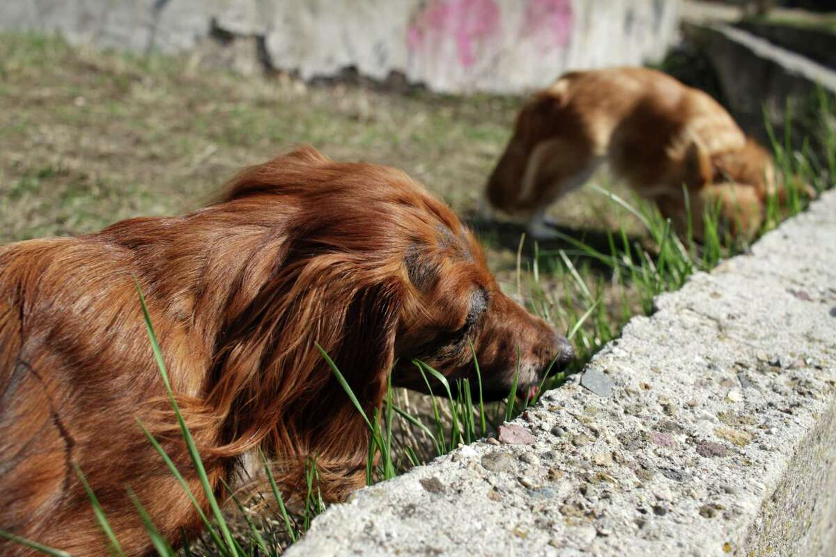 When a dog eats poop it's called coprophagia (cop-row-fage-ee-uh), which is a Greek word that basically means feces-eating.