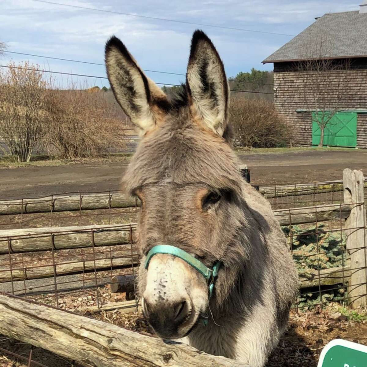 """Guilderland Public Library is planning a farm tour for families at Indian Ladder Farms at 10:30 a.m. Thursday, July 8, as part of its """"Tails and Tales"""" Summer Reading Program, Among the highlights, Simon the Donkey may be on hand to greet the group. Registration is required on the Events tab of guilderlandlibrary.org, or by calling 518.456.2400 ext. 3."""