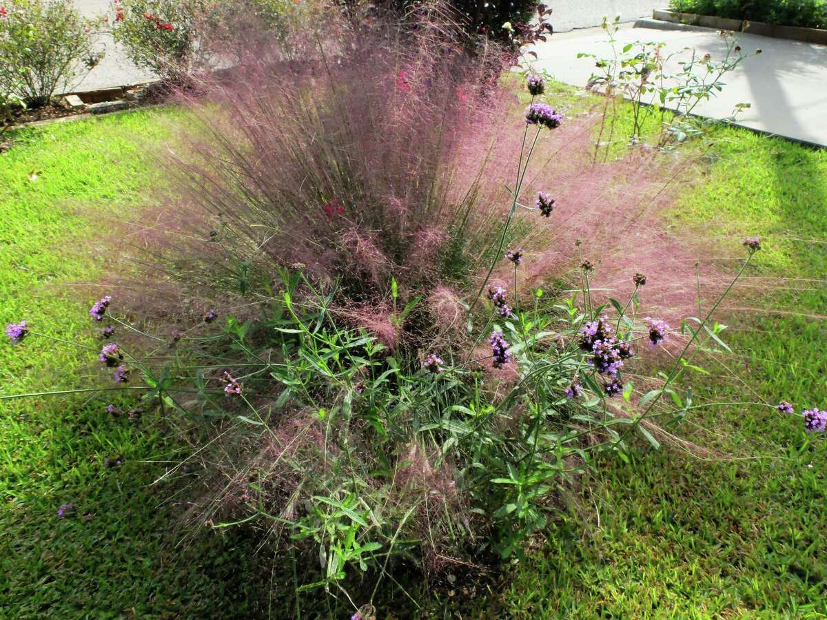 The fuzzy pink plant is Lindheimer muhly grass, a great ornamental grass for San Antonio gardens.