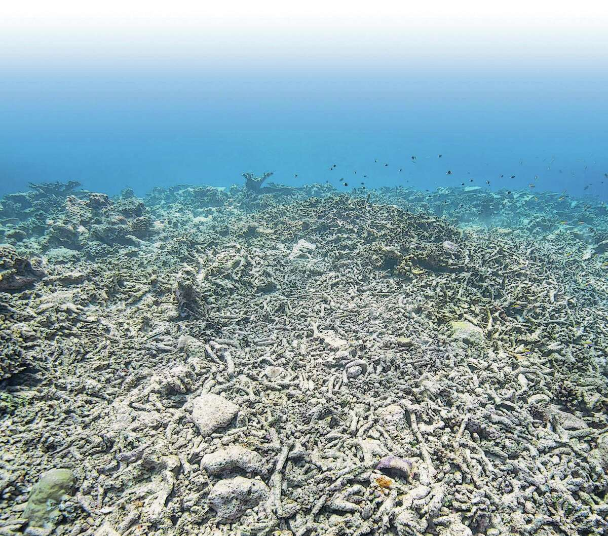 Dead coral reefs in shallow water which were killed during the mass coral bleaching event, which is relating to climate change. Bleaching of coral colonies is caused by warming of sea temperature and most likely combined with other environmental stresses causing coral to expel symbiotic zooxanthellae algae, which could even lead to coral death.