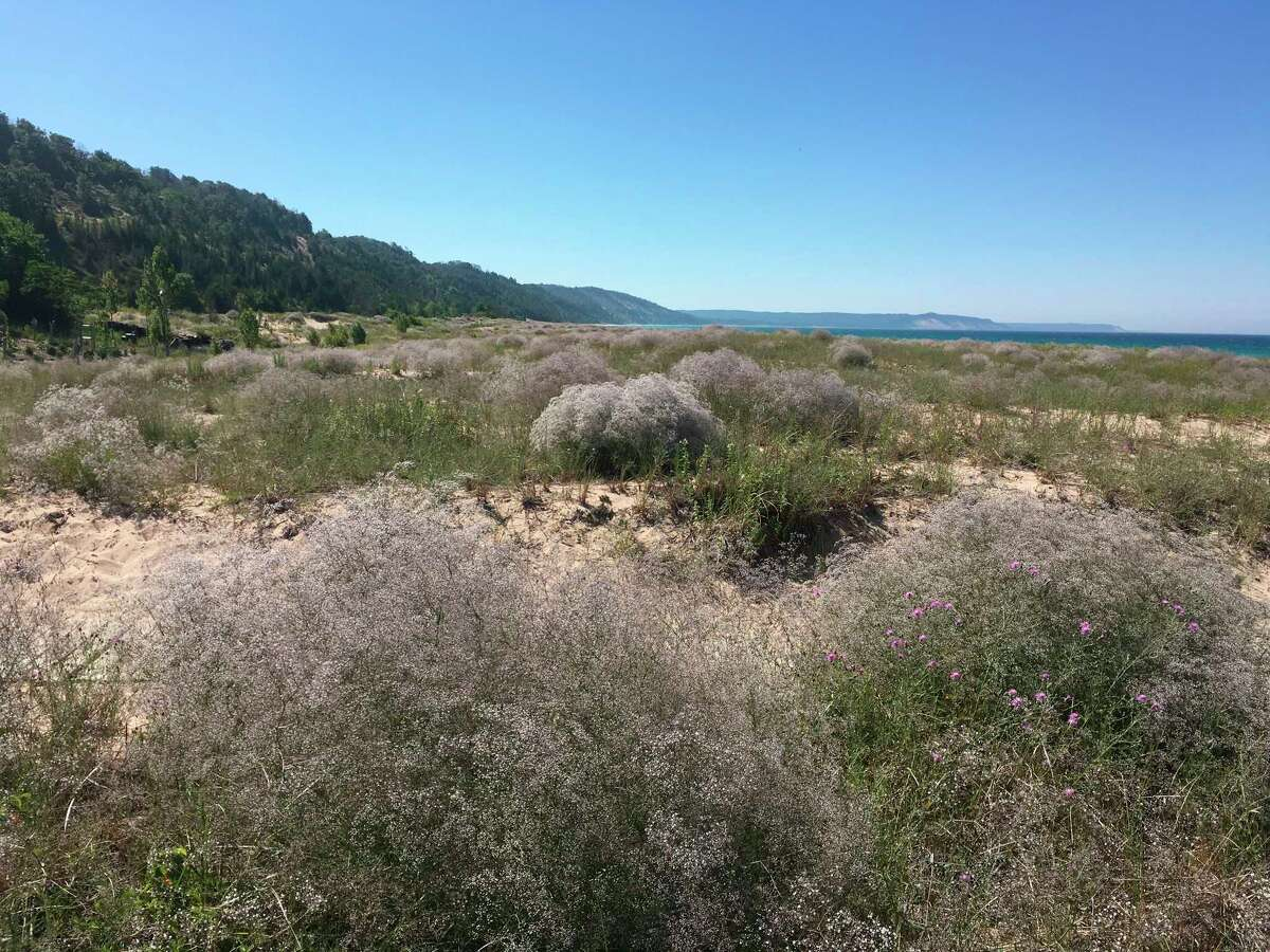 The Northwest Michigan Invasive Species Network is hosting several workbees for anyone eager to gain hands-on invasive species removal experience at Elberta Beach. (Courtesy photo/Northwest Invasive Species Network)