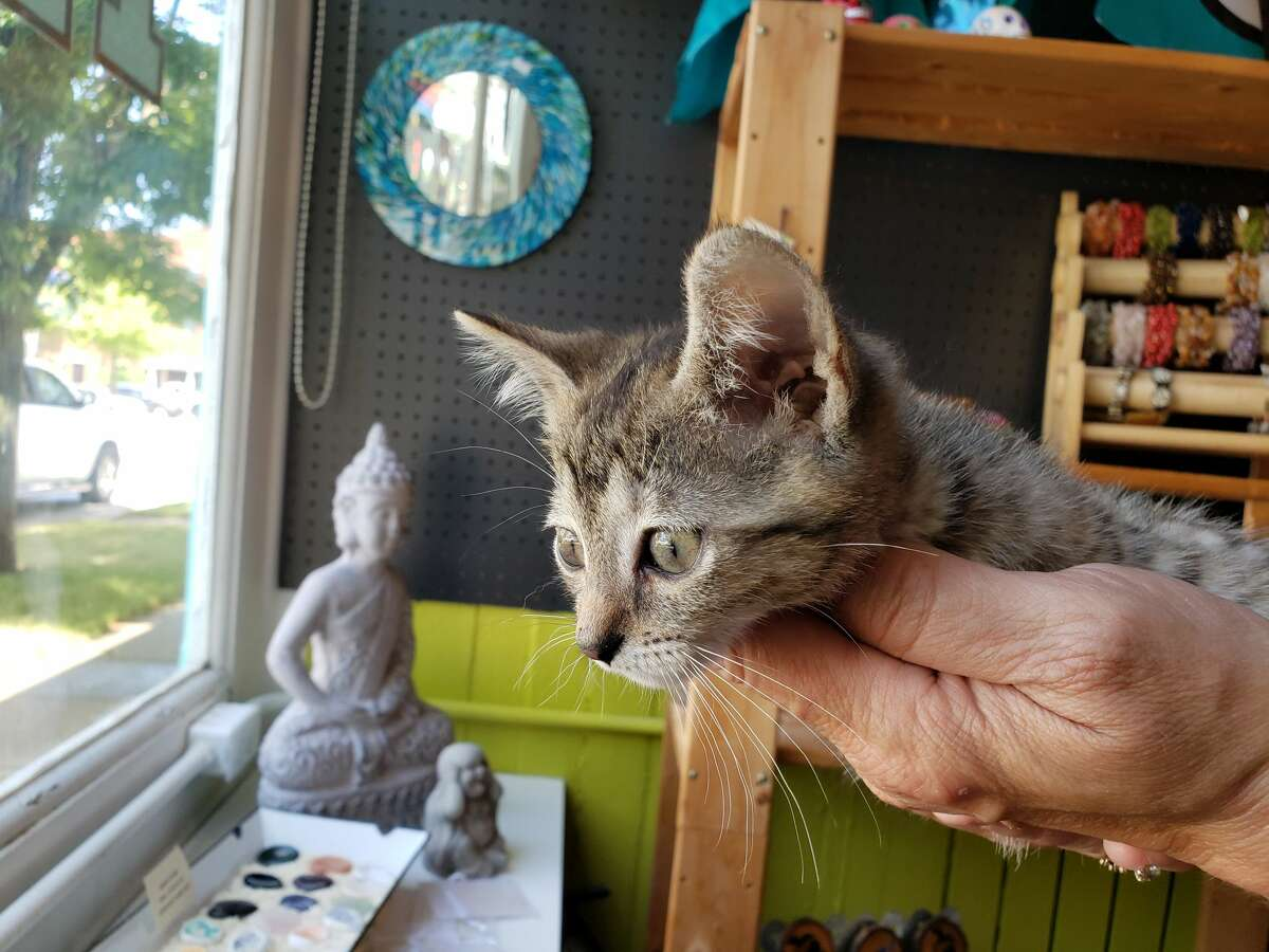 One of the kittens could be seen relaxed as visitors petted the young cats at the Happy Hippie kitten shower.