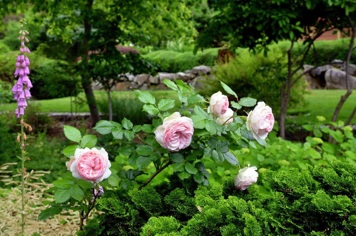 Roses blooming in the Bland garden