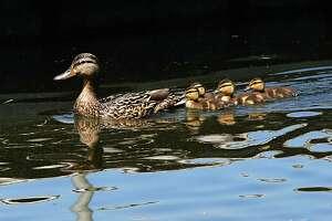 Ducklings swim close behind their mother at Grafton Lakes State Park on Monday, June 21, 2021 in Grafton, N.Y. (Lori Van Buren/Times Union)