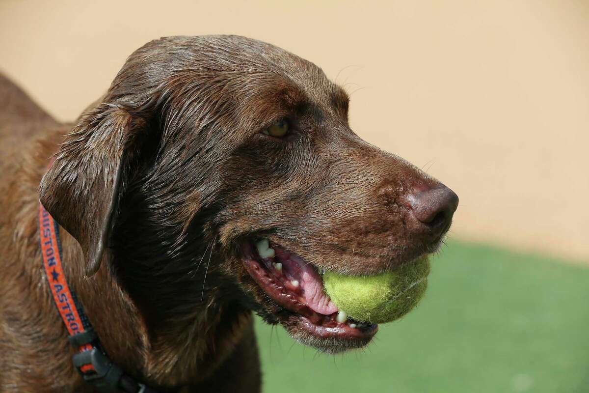 Teal is rarely spotted without a baseball or tennis ball in his mouth.