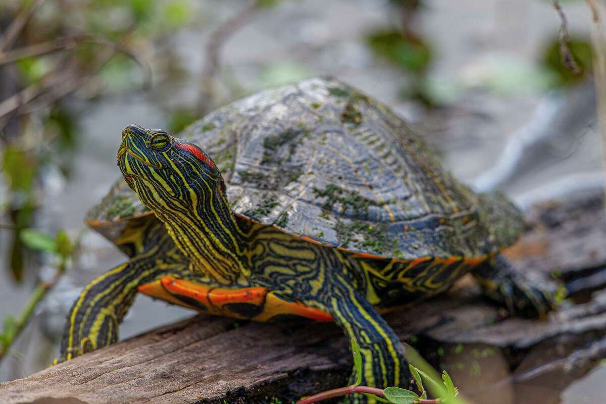 Red-eared slider turtles are named for the red stripe behind both eyes as if by the ears. Photo Credit: Kathy Adams Clark. Restricted use.