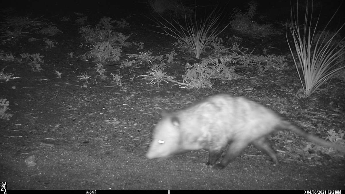The species photographed on camera are Virginia opossum, cottontail rabbit, white-tailed deer, and coyote.