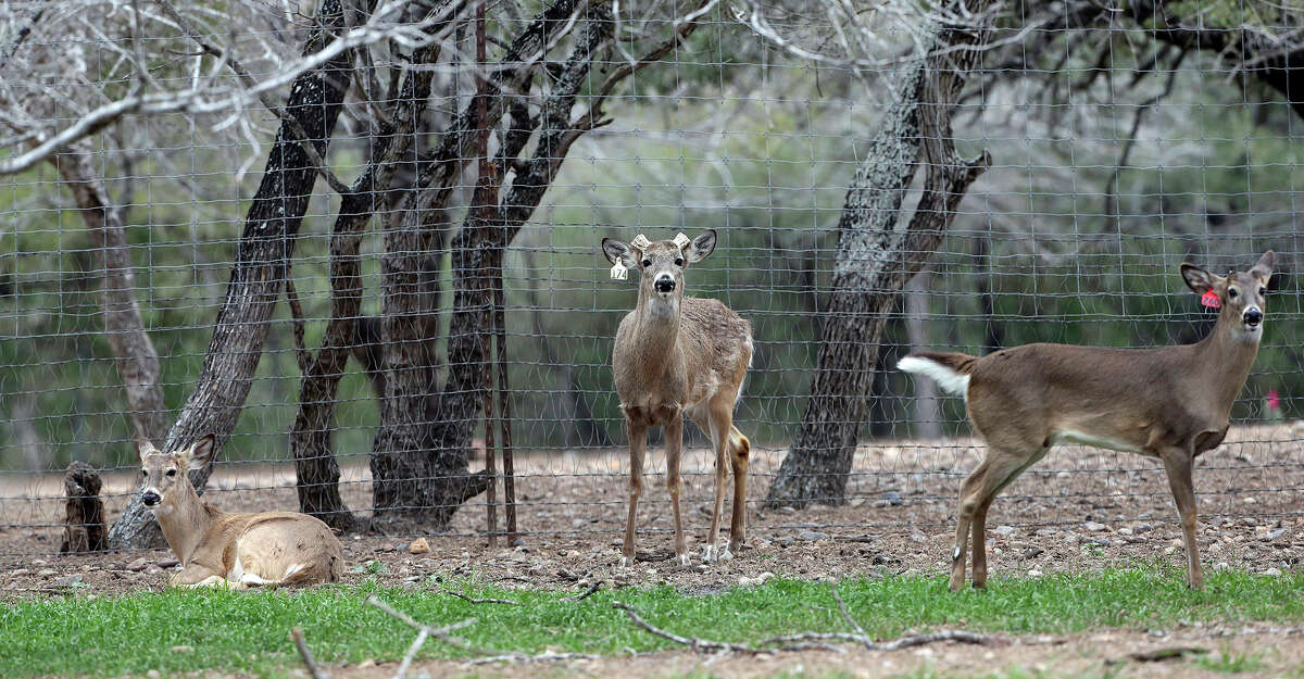 Paco Free Roller resides unadorned in a pen with several doe as Gery Moczygemba shows his deer breeding operation in Karnes County on February 14, 2015