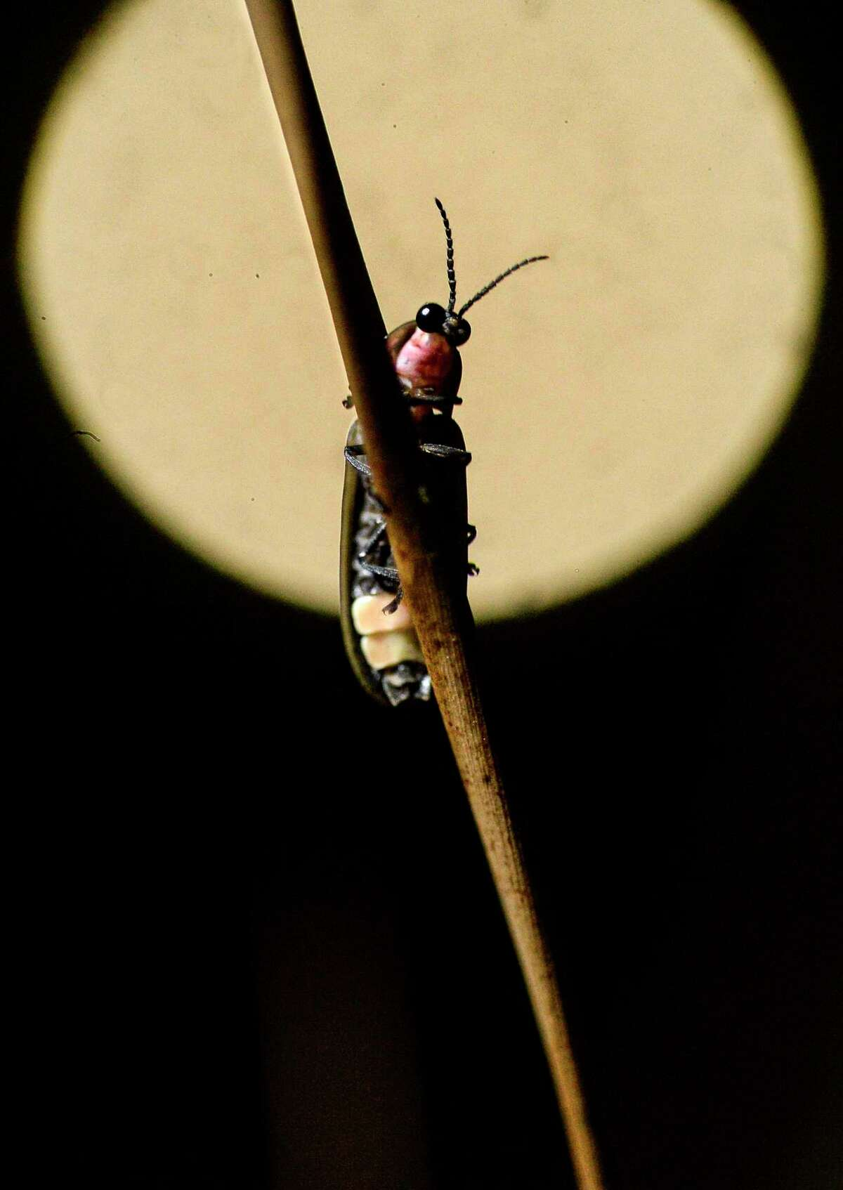 A file photo of a firefly climbing a grass stem with a June strawberry moon in the background.