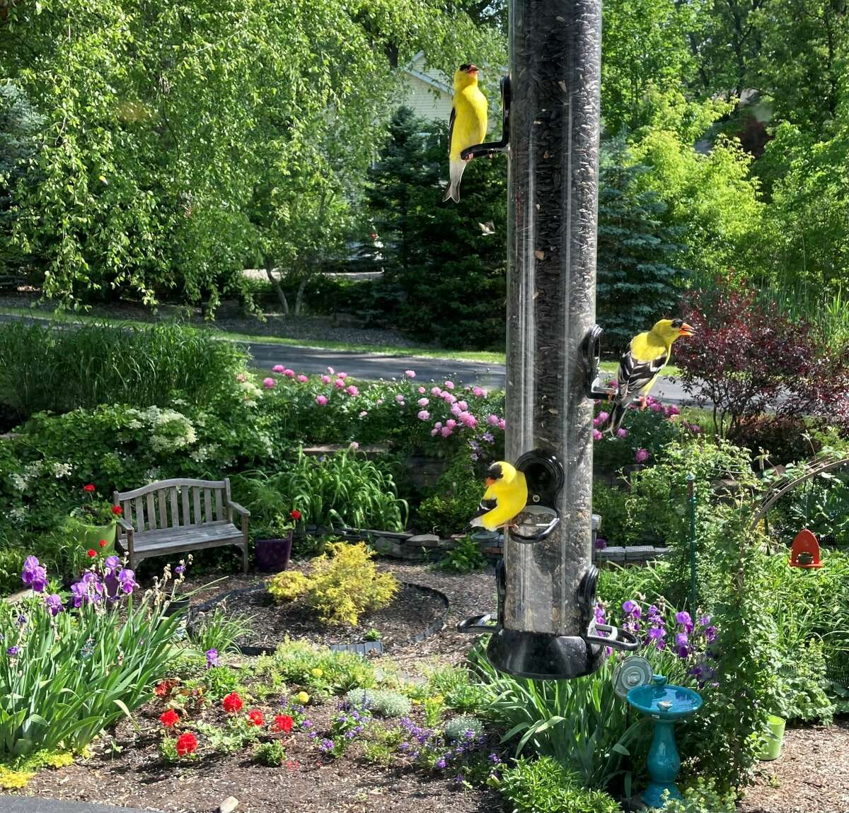 From Carol Turner of Slingerlands: Finches at the feeder in their full yellow summer colors, with my garden as background. We have had as many as five at a time on the feeder - a full house.