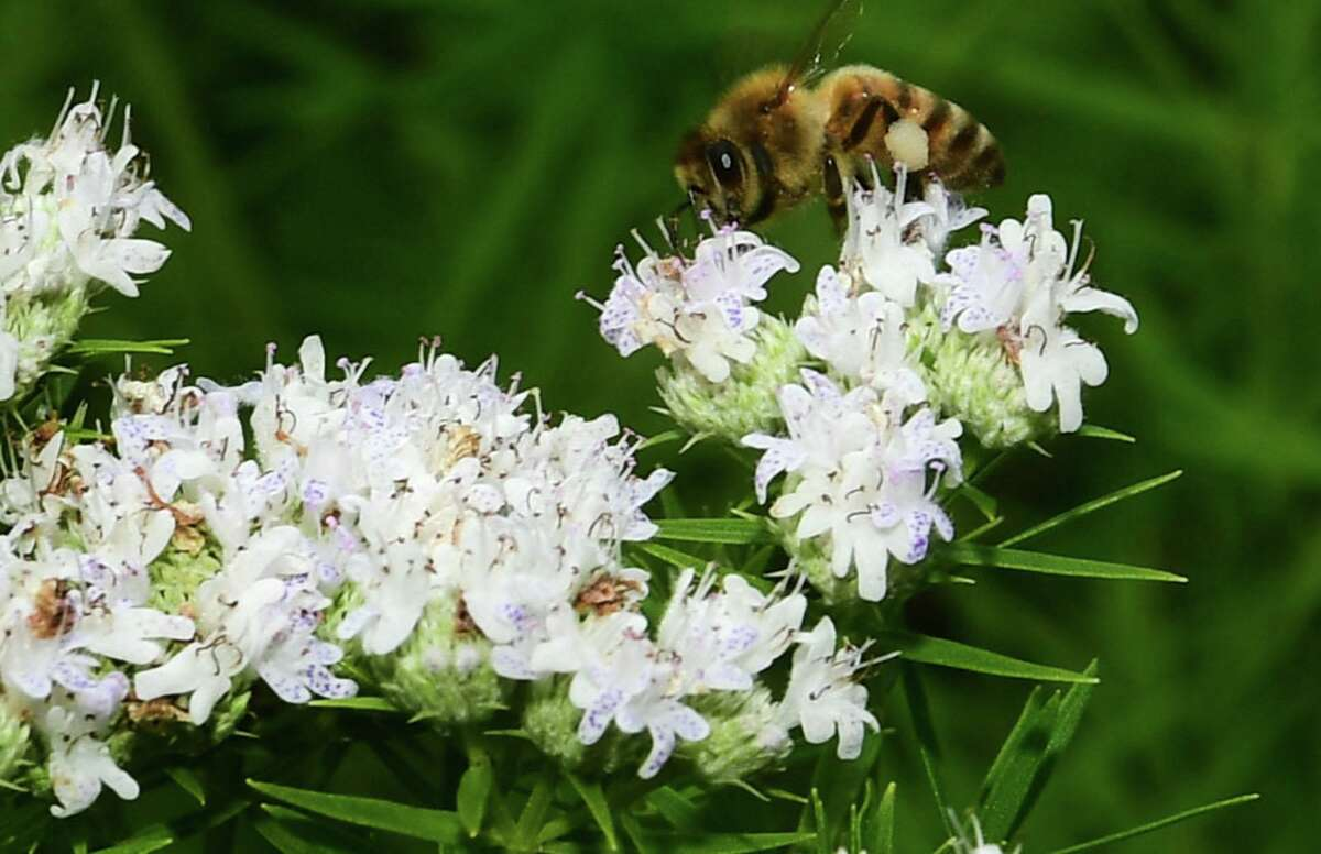 To combat the habitat loss contributing to the severe declines in the native bees, butterflies and other pollinators necessary for the survival of crops, Fairfield County residents have been creating a Pollinator Pathway.