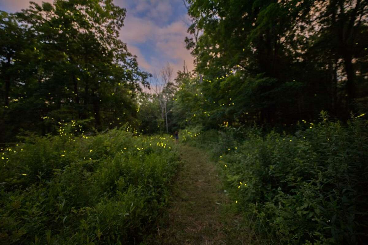 The New Canaan Land Trust has introduced a registration system for visitors to its Firefly Sanctuary during the early summer's peak firefly viewing timeframe.