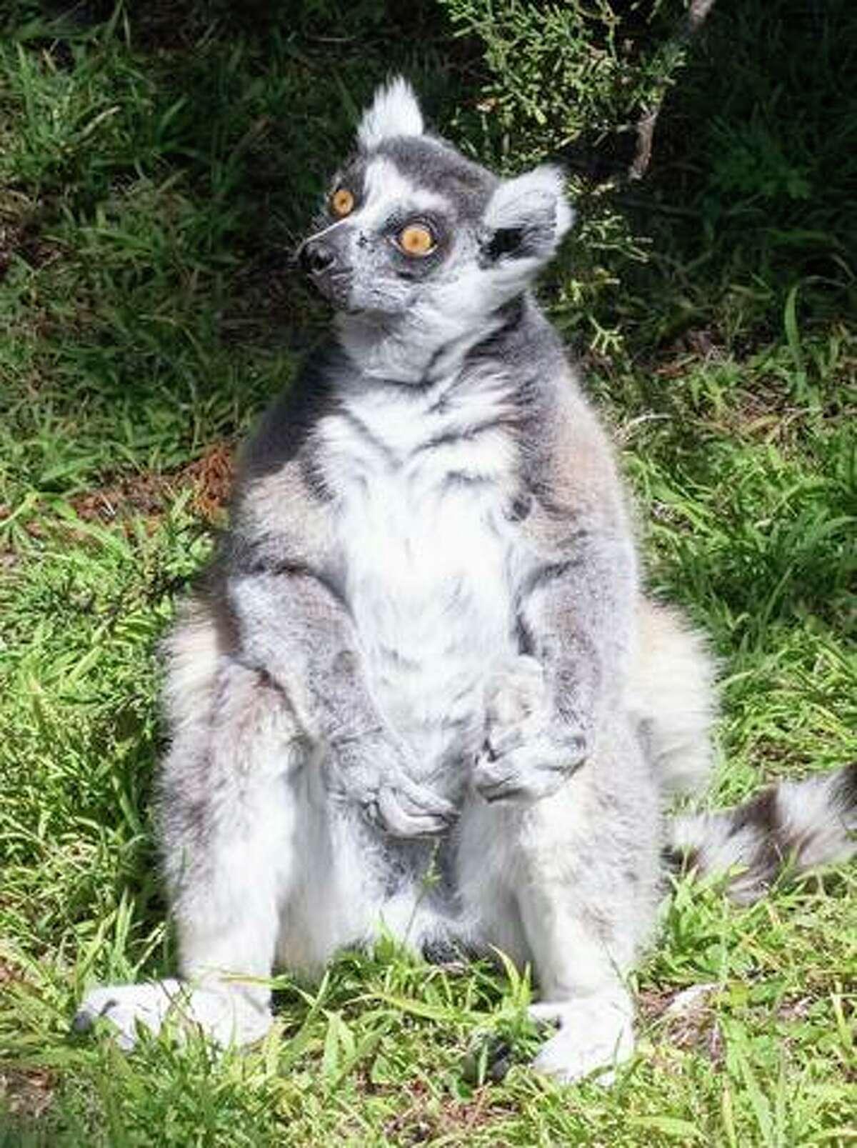 Maki, the lemur stolen last year from S.F. Zoo.