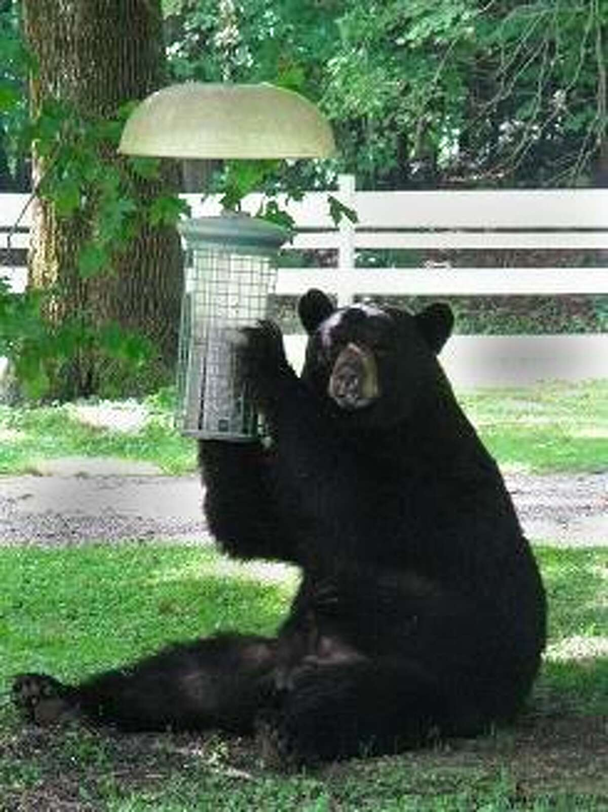 FILE PHOTO: Black bears are commonly seen in many areas of Connecticut.