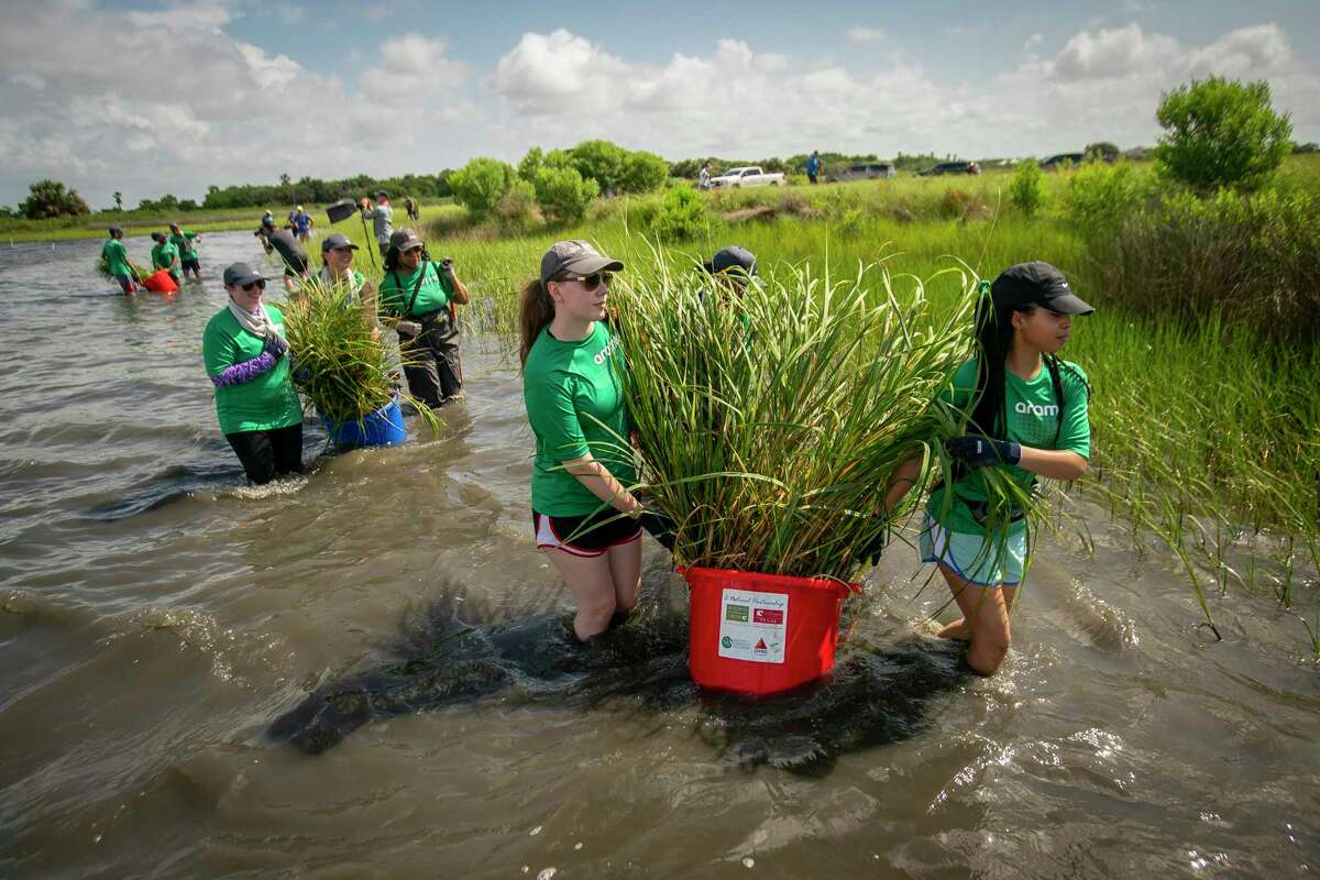 Volunteers from Aramco walk into an area of marsh to plant more marsh grass on Galveston Island on Wednesday, June 23, 2021.The Galveston Bay Foundation has been working to expand the marsh area in Galveston Bay along their property on Sweetwater Lake.