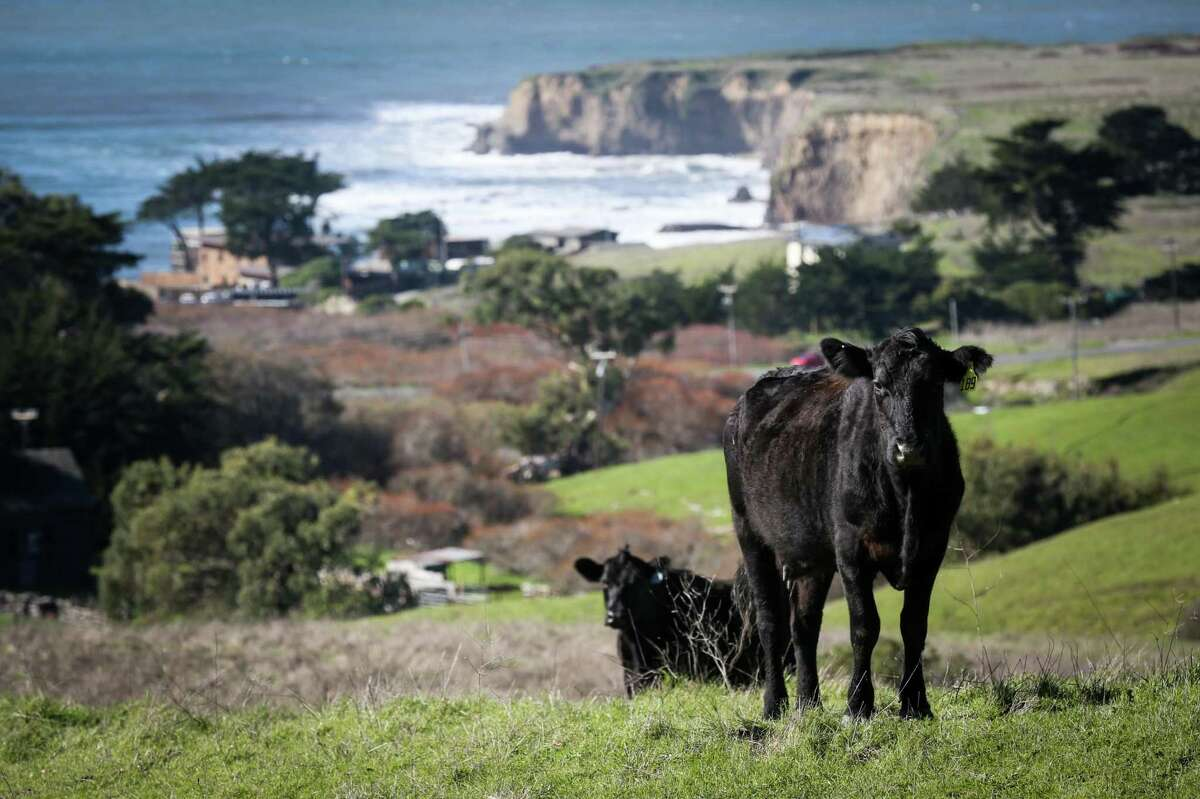Cows enjoy the green rolling hills overlooking the Pacific at Cotoni-Coast Dairies, in 2017, just after it was designated a California Coastal National Monument.