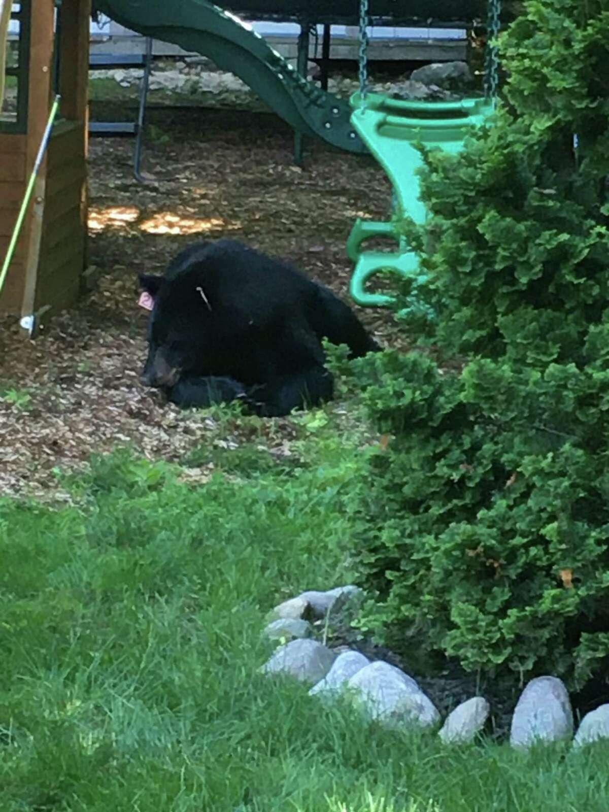 A bear in Westport.