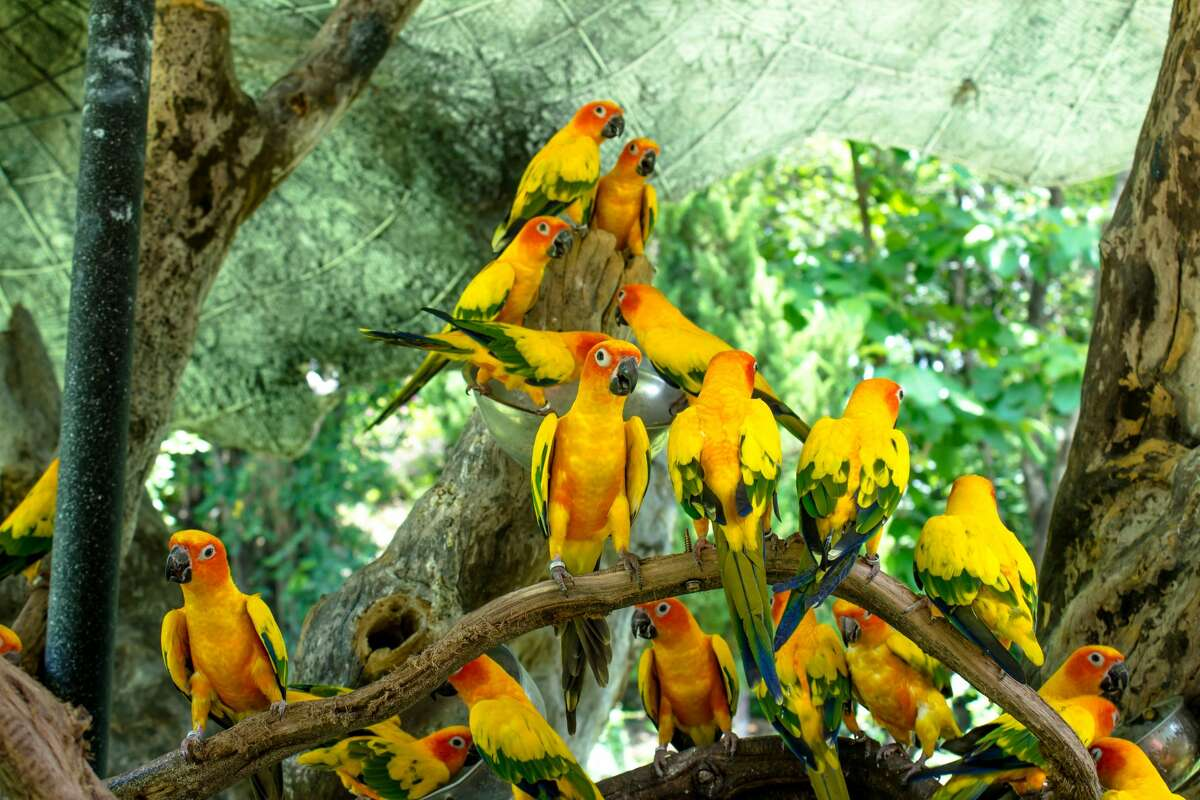 The St. Vincent Parrot is threatened to become extinct.