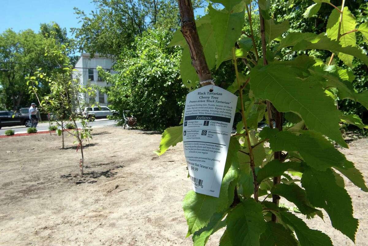 A black tartarian cherry tree is seen in the fruit tree orchard Kizzy Williams created on Orange Street on Thursday, June 24, 2021 in Albany, N.Y. (Lori Van Buren/Times Union)