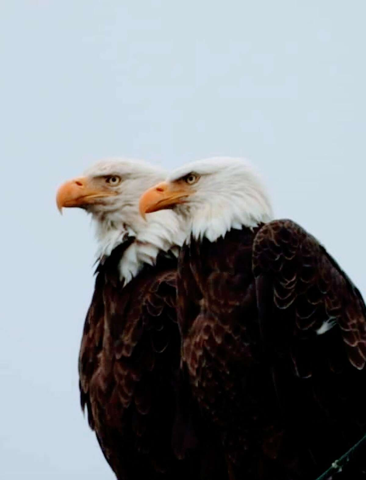 Beverly Miranda of Waterford found these eagles at Peebles Island, a photo taken on the tower near the Cohoes Waterford Bridge.