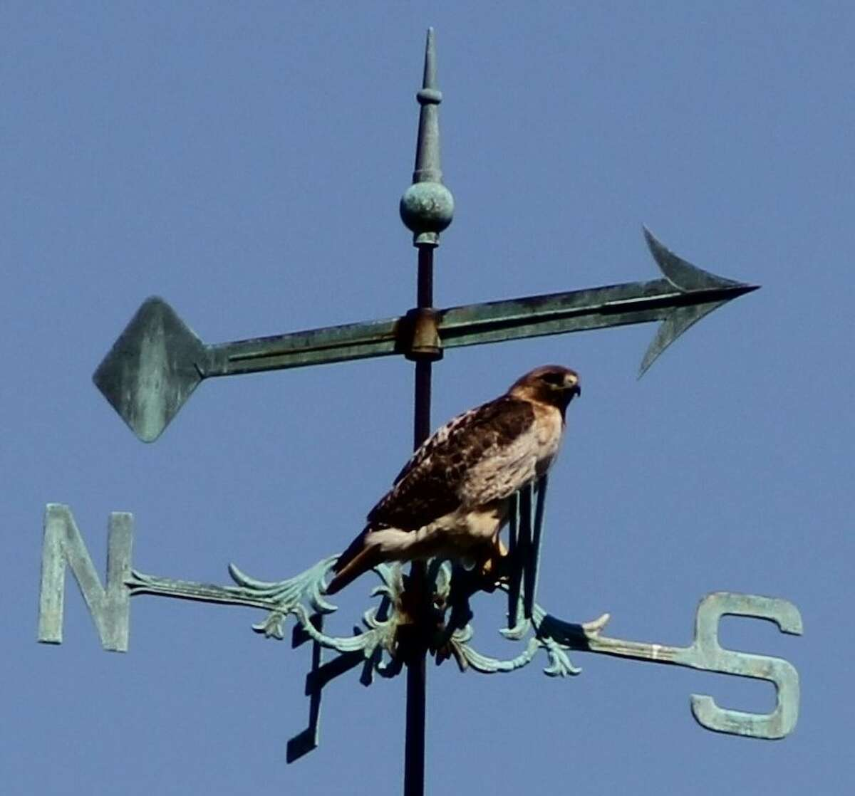 """During Sunday's """"Run for the Fallen"""" event in Albany's Lafayette Park Gene Loparco of Colonie captured this image of a hawk perched on the former Albany Academy's weathervane in Academy Park."""