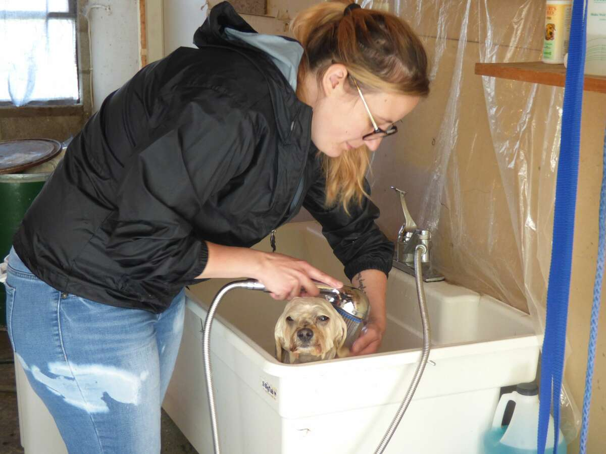 Pet groomer Kate Lippert bathes Opal a regular client at her temporary studio in Onekama. Lippert plans to open a full salon on the property later this summer.