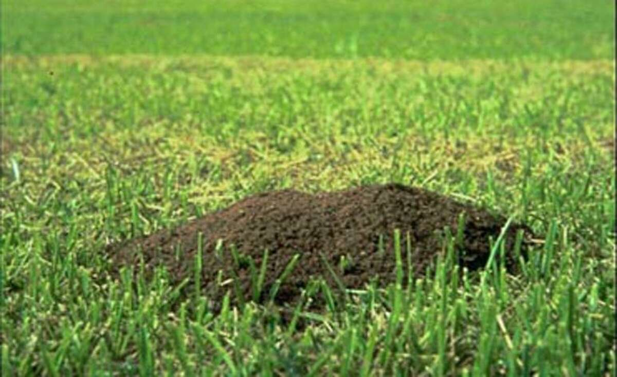 A fire ant mound is shown in this undated photo released by Texas A&M University.