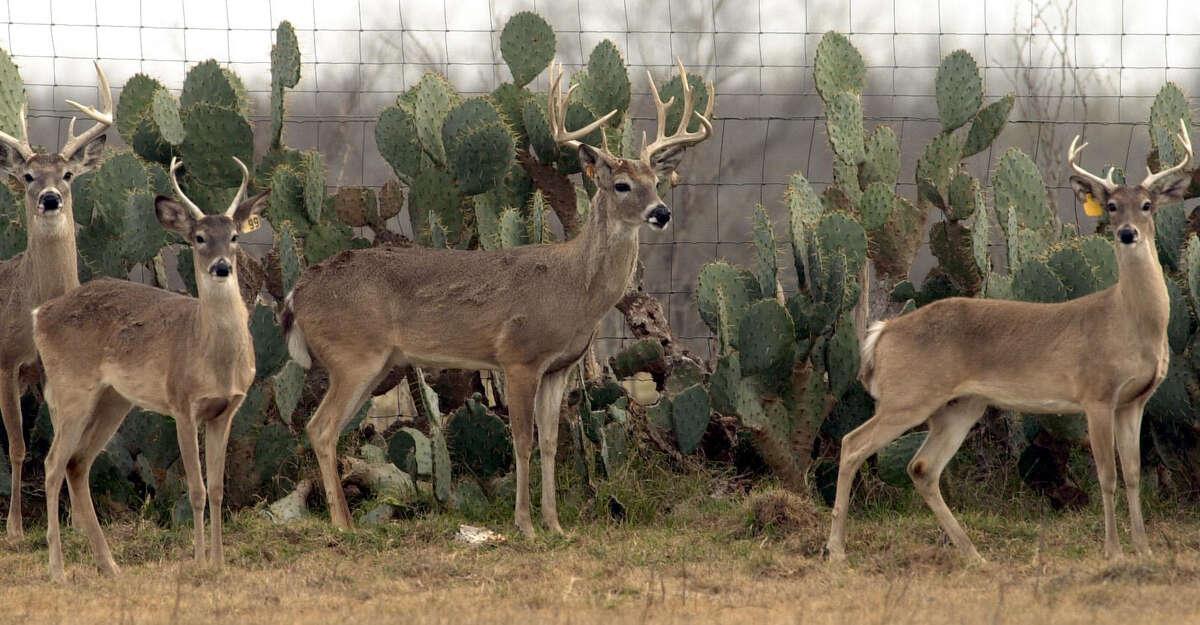Deer just outside Devine, in Frio County.