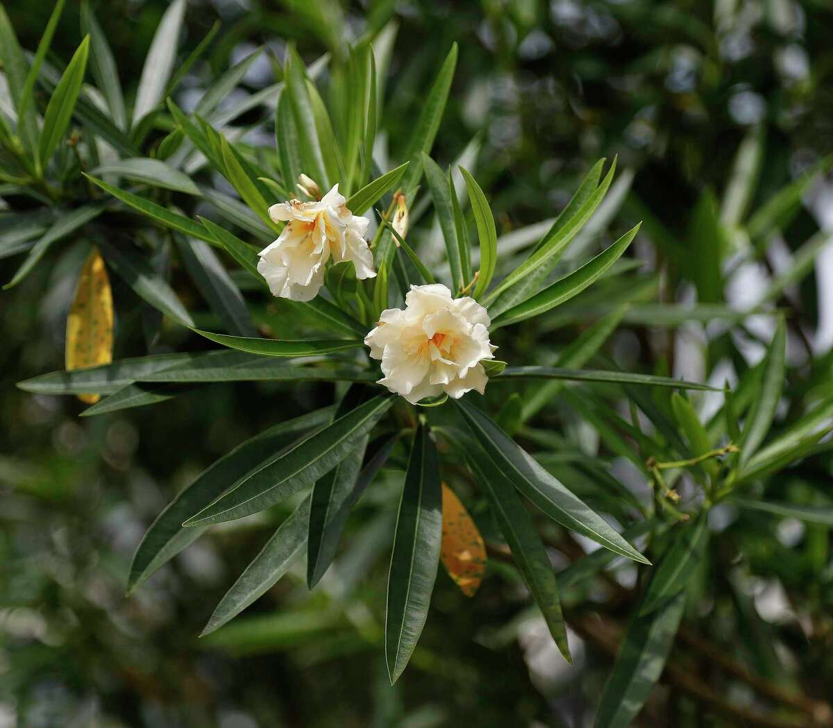 """This oleander with yellow double blooms is the """"Mathilde Ferrier,"""" an older variety of the shrub."""