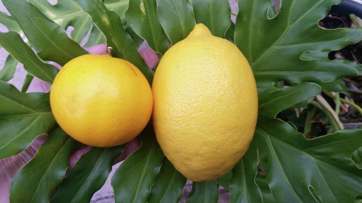 If Meyer Lemon trees are grafted on root stock, any fruit that sets post-freeze this year will be sour.