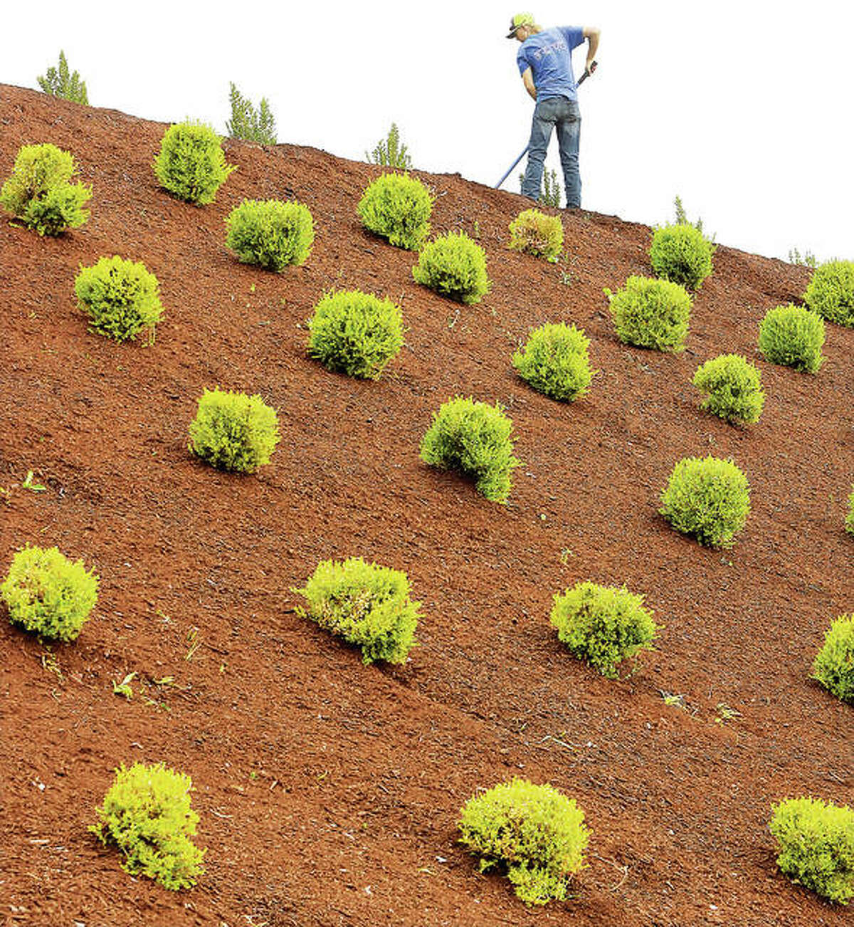 Jackson Strohbeck, an employee of Element Turf & Outdoor Solutions, spreads mulch Thursday on a hillside at Alton Square Mall where nearly 250 bushes were being planted.