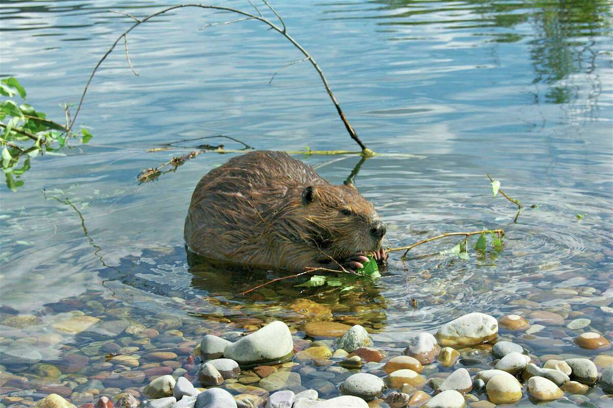 A beaver strips the leaves off of a freshly cut branch in Grand Teton National Park, Wyo. Heidi Perryman says that California is killing off one of nature's best firefighters: beavers.