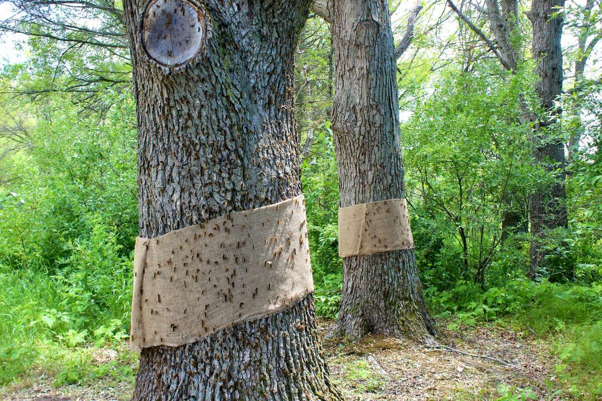 During the larvae, or caterpillar stage, trees can become completely defoliated, however, most will recover, producing a second set of leaves.