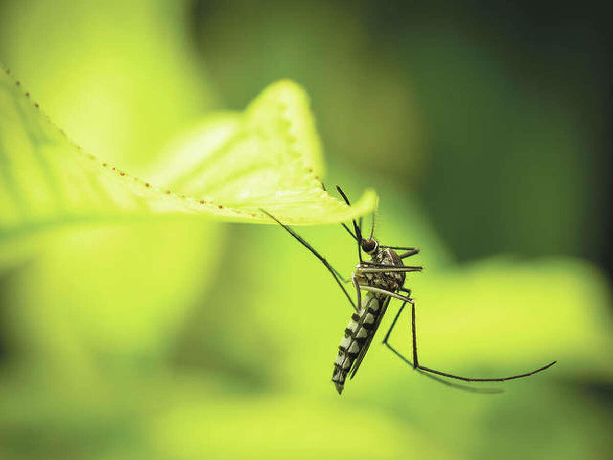 Asian tiger mosquitoes are daytime feeders. They are commonly found in shaded areas where they will rest on foliage near the ground. While they may not have particularly painful bites, they are persistent.
