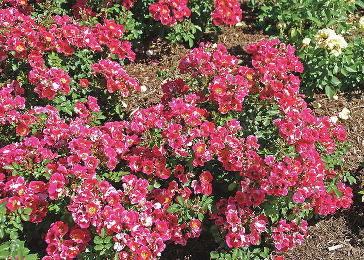 The Carefree series of shrub roses, like this Carefree Spirit rose, are repeat bloomers, hardy, and disease resistant.