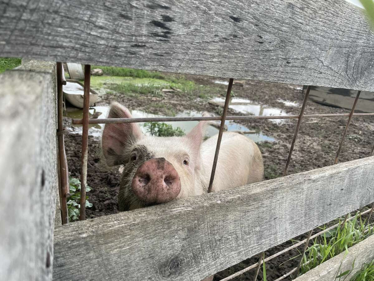 The Homestead property at the Chippewa Nature Centeris home to some livestock, including pigs, cows and chickens.