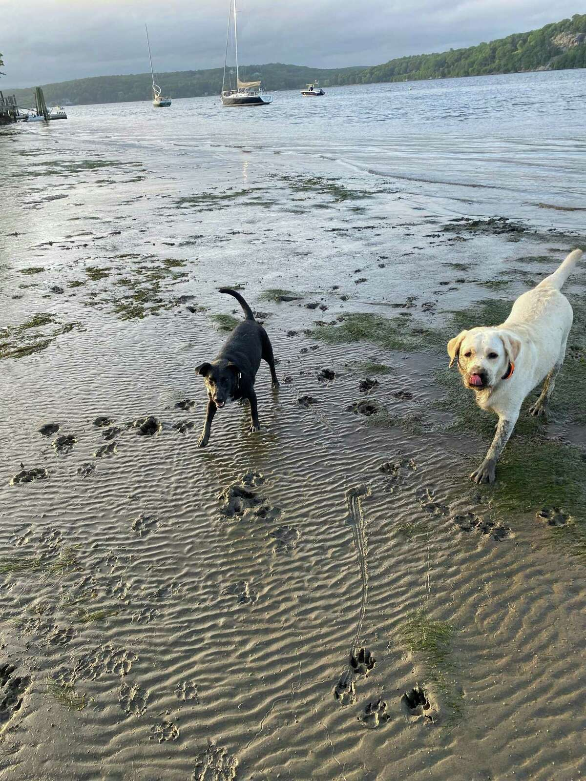 Romping in the mud and staying cool at the edge of the Connecticut River are (l-r) Brie and Cooper.