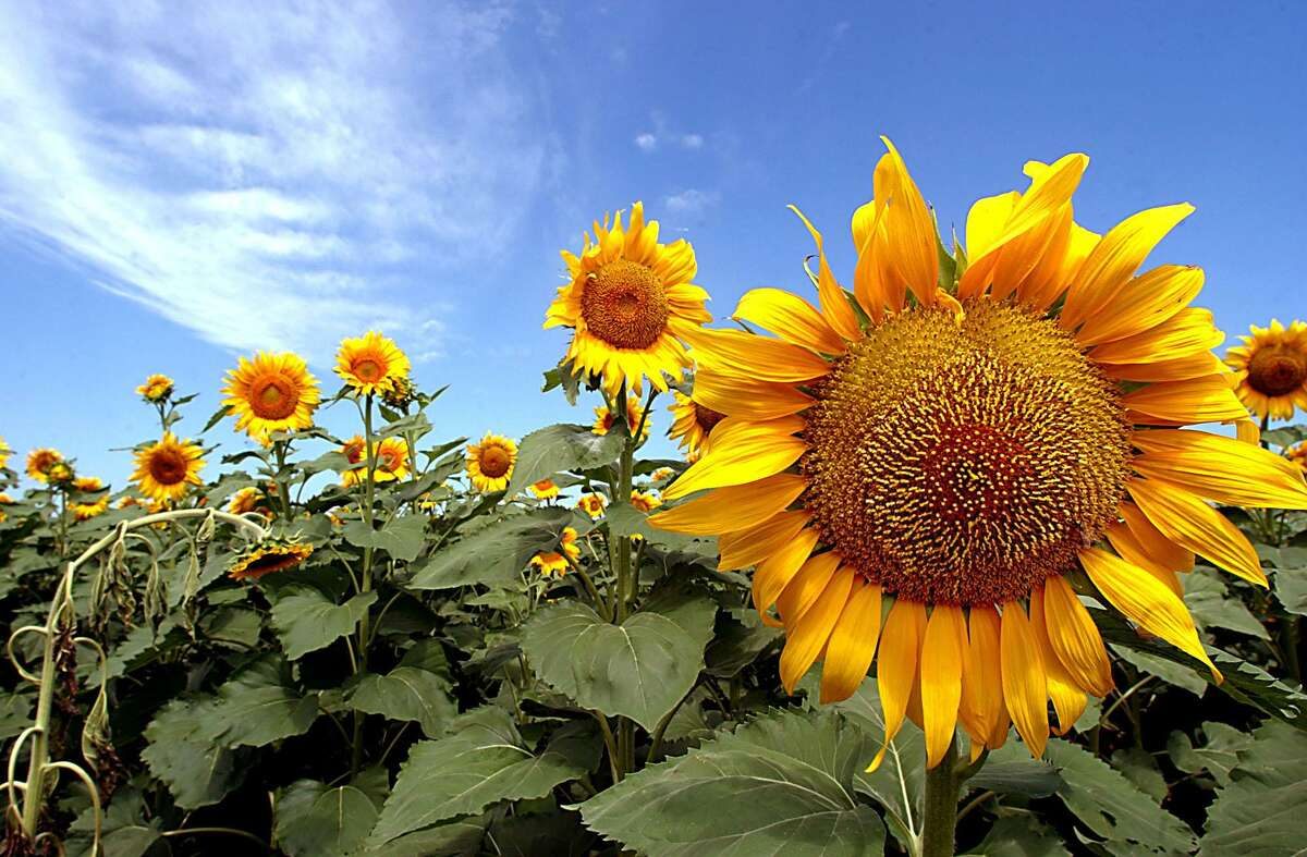 Texas sunflowers are making pollinators happy now with their nectar. In the fall, they will attract seed-eating birds.