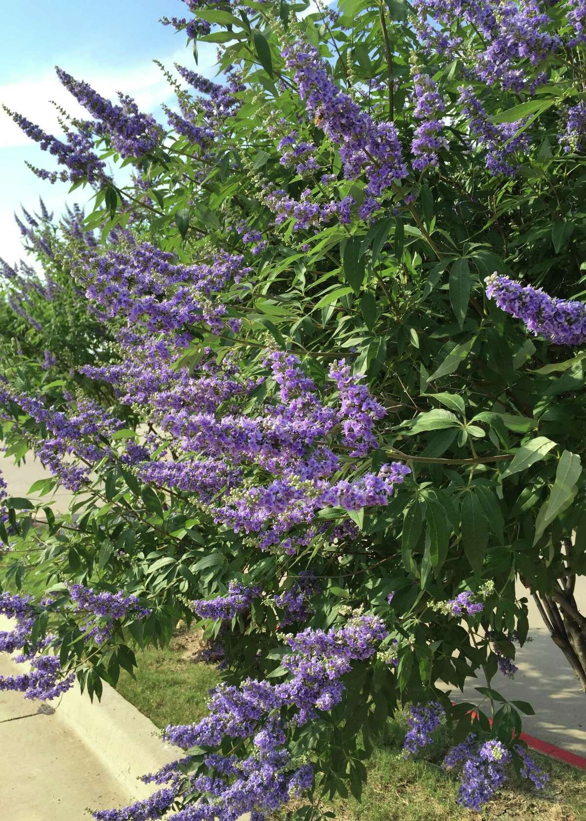 In addition to producing an attractive bloom display, vitex is drought tolerant, pest free, is not eaten by deer and is a favorite nectar source for hummingbirds.