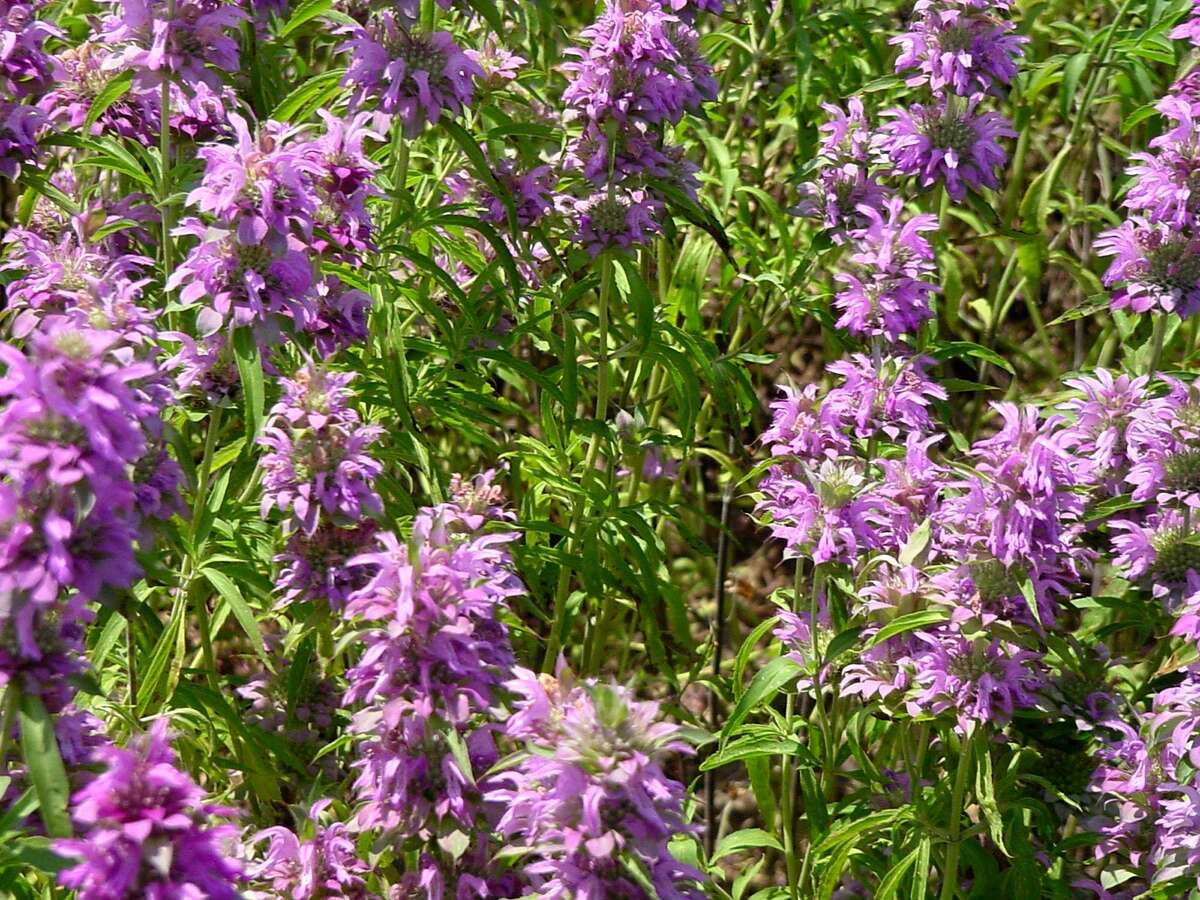 Horsemint is a favorite nectar source for pollinators.